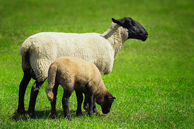 Ewe and Lamb on Farm