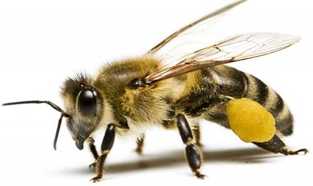 Arılar,arilar
