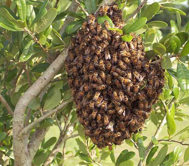 Yarım kilo bal için 17 bin arı 10 milyon çiçek,bee-swarm