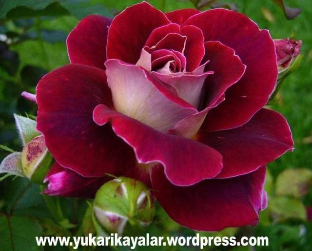 Peygamberimizin Şemaili,En Sevgili'nin Hilyesi,Şemâili…
