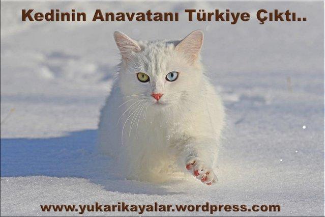 Kedinin Anavatanı Türkiye Çıktı..