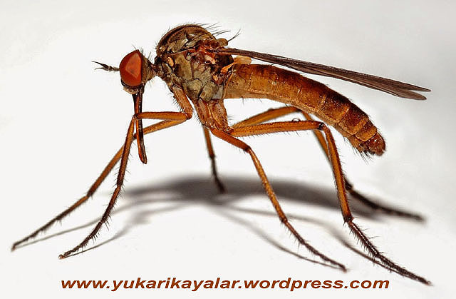 Allah İçin, Sivri sinekle Arşı Yaratması Birdir,sivri-sinek copy