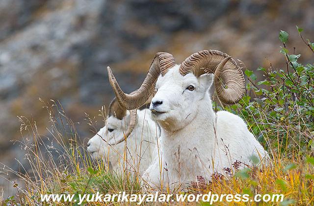 Dall Sheep (Ovis dalli)