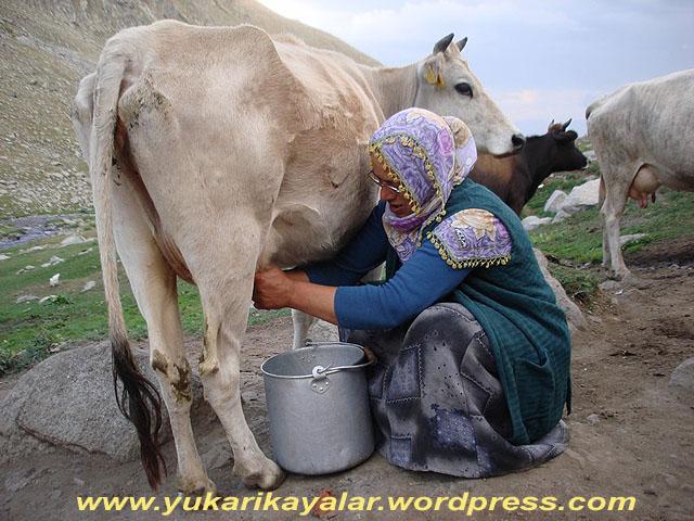 Hayvanın Sütü nerden  Çıkar,Hayvanın Sütü Tersiyle (Dışkısı)  Kanı Arasından Çıkar,Süt-sağımı1