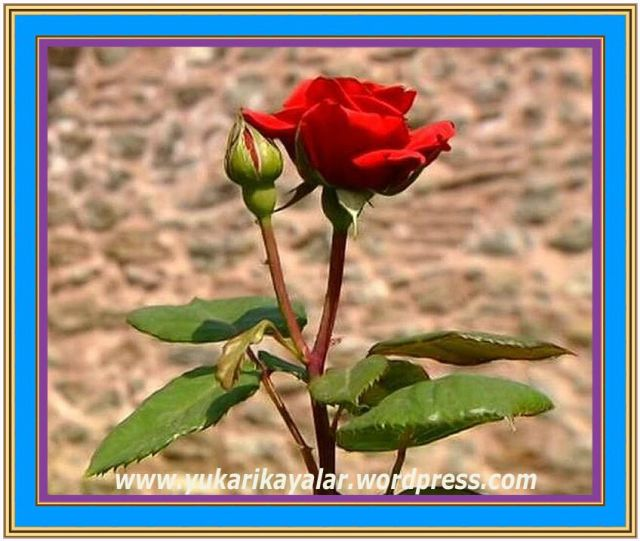Pazartesi Günü Neler Oldu,gul,rosa,Sahte şeyhlerin şerrinden ve fitnelerinden Allah'a sığınırız!