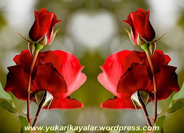 rose-flower-hwallpvbaper copy