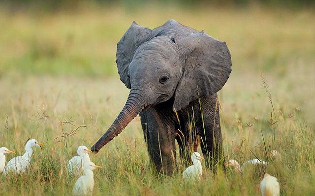 yavru-fil