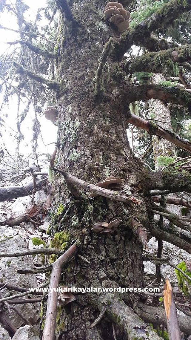 5-Göynem – Beyşehir,Kütüklerde Organik Kayın Mantarı,Dogal mantar,Derebucak,akcabelen,gencek,tepearasi,huglu,uzumlu,beysehir,goynem,gøynem,Ağaç kütüğünde mantar yetiştiriyorlar,sopp,Ağaç gövdesinde Kavak mantarları,Kavak mantarı