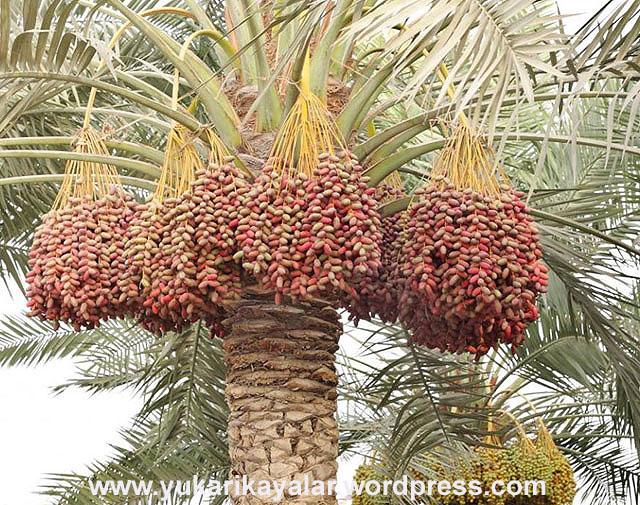 hurma,Az yemenin faydaları,helal lokma,helal kazanc,halal,haram