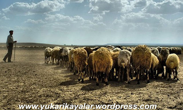 Koyunun Köpeklerden Fazla Olmasının Nedeni..!,beysehir-1 copy