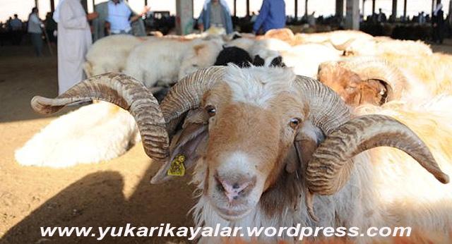 Hayvancılığın önemli merkezlerinden Şanlıurfa'da, Kurban Bayramı'na bir ay kala hayvan pazarları hareketlenmeye başladı. Yaklaşan bayram öncesi kurbanlık hayvanlar pazarlardaki yerini aldı. Besicilerden kimi henüz siftah yapamazken, kimisi ise ilk hayvanlarını satabilmenin mutluluğunu yaşıyor. (Rauf Maltaş - Anadolu Ajansı)