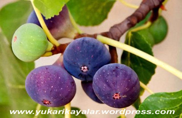 cennetteki-incir-agaci